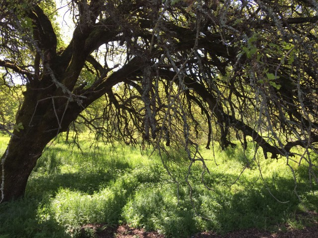 e-old oak