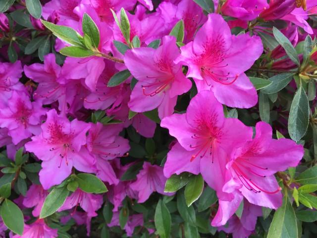 e-pink azaleas-0002 copy