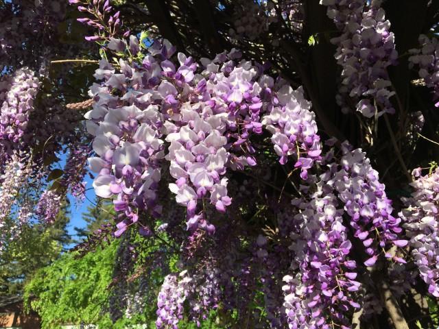 e-hanging wisteria-7184
