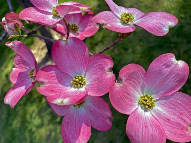 -2216 pink dogwoodCR