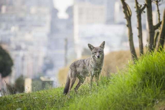 coyote SF