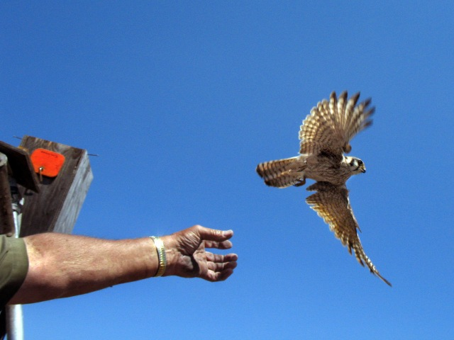 2010 2953 kestrel flies